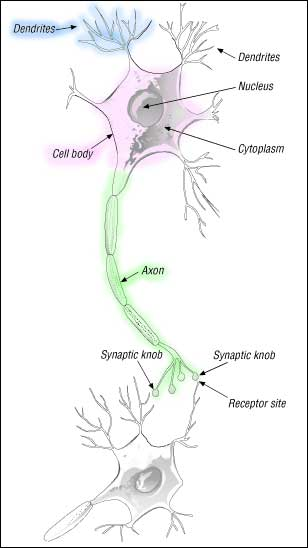 sketch of a neuron axon dendrite synapse