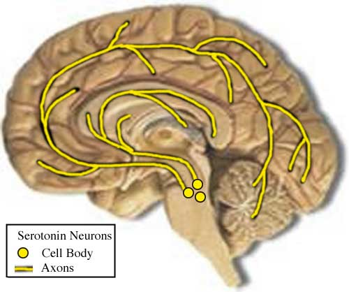 brain section showing raphe nuclei and serotonin pathways